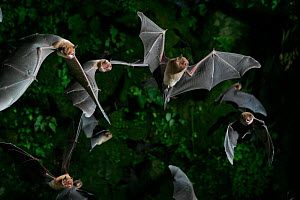 Naked-backed (moustached) bats {Pteronotus davyi} emerging at dusk, Tamana, Trinidad, West Indies. Digital composite - Kim Taylor