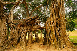 Aerial root structure of Weeping Fig tree (Ficus benjamina). Asia - Kim Taylor