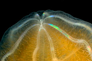 Close up detail of Comb jelly / Sea gooseberry {Beroe cucumis} Weddell Sea, Antarctica FOR SALE IN UK ONLY - Ingo Arndt