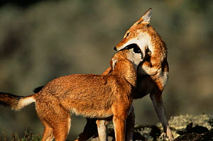 Simien jackals / Ethiopian wolf {Canis simensis}, play fighting, mouthing, Bale Mountains, Bale NP, Ethiopia - Anup Shah