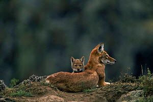 Simien jackal / Ethiopian wolf {Canis simensis} mother with cub at den, Bale Mountains, Bale NP, Ethiopia - Anup Shah