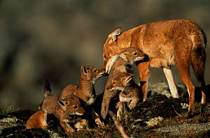 Simien jackal / Ethiopian wolf {Canis simensis} mother greeting cubs at den, Bale Mountains, Bale NP, Ethiopia - Anup Shah