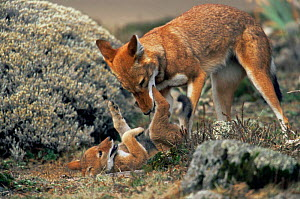 Simien jackal / Ethiopian wolf {Canis simensis} cub playing with mother, Bale Mountains, Bale NP, Ethiopia - Anup Shah