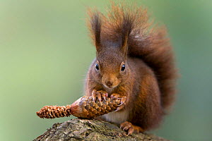 Red squirrel feeding on fir cone {Sciurus vulgaris} Germany - Ingo Arndt