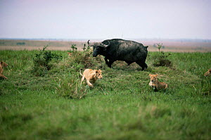 African lions {Panthera leo} being chased away by cornered African buffalo {Syncerus caffer} Masai Mara GR, Kenya  -  Anup Shah