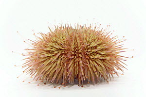Green sea urchin {Psammechinus miliaris} from North sea, Europe FOR SALE ONLY IN UK  -  Ingo Arndt