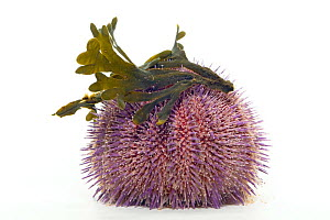 Common / Edible sea urchin {Echinus esculentus} with Seaweed, from North Sea, Europe FOR SALE ONLY IN UK  -  Ingo Arndt