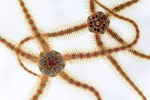 Two Common brittlestars {Ophiothrix fagilis} from North Sea, Europe FOR SALE ONLY IN UK  -  Ingo Arndt