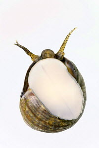 Common periwinkle {Littorina littorea} viewed from underside, from North Sea, Europe FOR SALE ONLY IN UK  -  Ingo Arndt