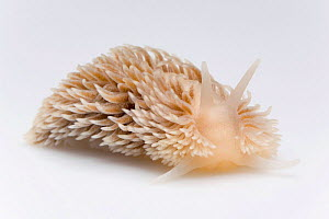 Common Grey seaslug {Aeolidia papillosa} from North Sea, Europe FOR SALE ONLY IN UK - Ingo Arndt