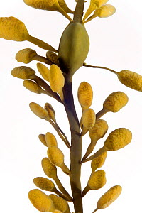 Knotted wrack {Ascophyllum nodosum} from North Sea, Europe FOR SALE ONLY IN UK  -  Ingo Arndt