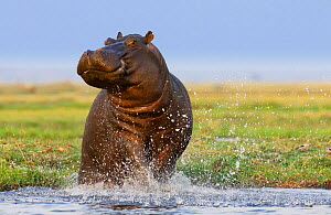 Hippopotamus {Hippopotamus amphibius} territorial defense at water edge, Chobe national park, Botswana. - Tony Heald