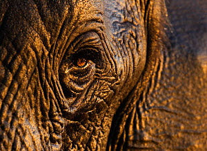 African elephant {Loxodonta africana}, close-up of eye, Chobe national park, Botswana - Tony Heald
