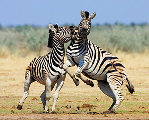 RF- Two Common zebra (Equus quagga) fighting, Etosha national park, Namibia. (This image may be licensed either as rights managed or royalty free.)  -  Tony Heald