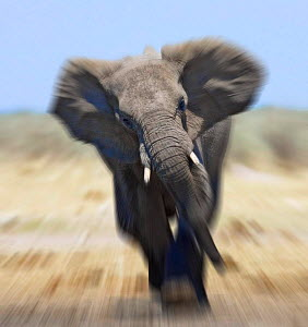 African elephant {Loxodonta africana} charging abstract, Etosha national park, Namibia.  Digitally enhanced version of 01154692.  -  Tony Heald