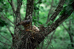Grey frog / Chinese sparrow hawk {Accipiter soloensis} at nest with chicks, Ussuriland, Primorskiy, E Russia  -  Yuri Shibnev