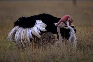 Ostrich pair exhibiting courtship display behaviour  (Struthio camelus) Masai Mara NR, Kenya - Anup Shah