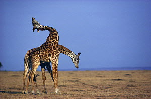 Two male Masai giraffe display to one another (Giraffa camelopardalis tippelskirchi) Masai Mara NR, Kenya  -  Anup Shah