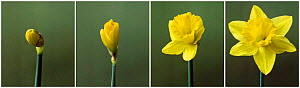 Time lapse shots of Daffodil flower opening sequence(Narcissus sp) UK  -  Simon Colmer