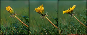Time lapse sequence of Dandelion flower opening over period of about 45 minutes (Taraxacum vulgaria) UK  -  Simon Colmer