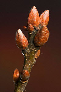 Sessile oak (Quercus petraea) buds in winter, UK  -  Simon Colmer