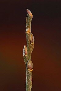 Osier (Salix viminalis) buds in winter, UK  -  Simon Colmer