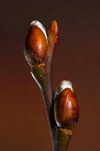 Goat willow (Salix caprea) opening buds in spring, UK  -  Simon Colmer
