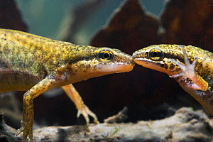 Palmate newt (Triturus helveticus) male and female underwater, captive  -  Simon Colmer