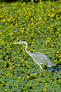 Grey Heron {Ardea cinerea} wading in pond of Fringed water Lily, UK.  -  Adrian Davies