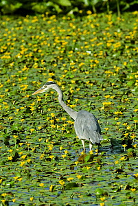 Grey Heron {Ardea cinerea} in pond full of Fringed water Lily, UK.  -  Adrian Davies