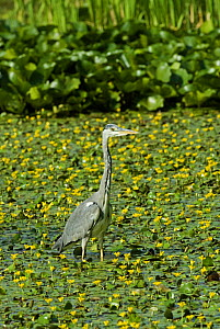 Grey Heron {Ardea cinerea} wading in pond full of Fringed water Lily, UK.  -  Adrian Davies