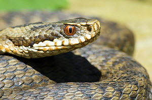 Female Adder {Vipera berus} close up of head of snake, Sussex, England - Andy Sands