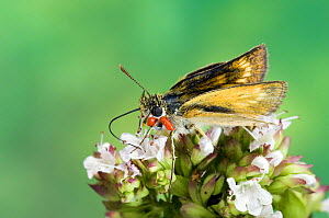 Lulworth Skipper butterfly {Thymelicus acteon} feeding on Marjoram, captive, UK. Note mite infestation  -  Andy Sands