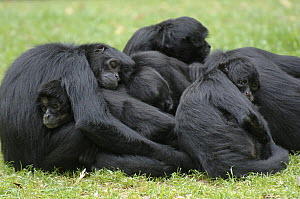 Group of Colombian black spider monkeys {Ateles fusciceps robustus} huddled together, sleeping on grass, captive.  -  Eric Baccega