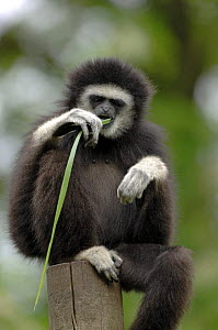White-handed gibbon {Hylobates lar} sitting on post, eating grass, captive, France. Occurs South East Asia  -  Eric Baccega