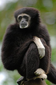 White-handed gibbon {Hylobates lar} sitting on post, captive, France.  Occurs South East Asia  -  Eric Baccega