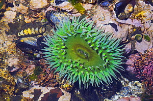 Giant green anemones {Anthopleura xanthogrammica} Limpets, Mussels and Chitons in tidepool at low tide, Olympic National Park, Washington, USA.  -  Georgette Douwma