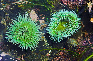 Giant green anemones {Anthopleura xanthogrammica} in tidepool at lowtide, Olympic National Park, Washington, USA. - Georgette Douwma
