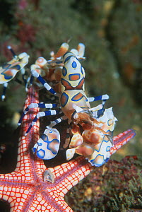 Harlequin shrimp {Hymenocera picta / elegans} with Starfish prey {Fromia monilis} turned upside down to prevent it from escaping, Andaman Sea, Thailand.  -  Georgette Douwma