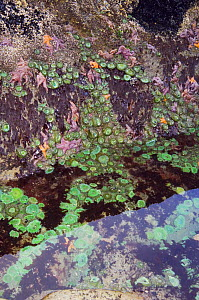 Tidepool at low tide showing Giant green anemones {Anthopleura xanthogrammica} and Ochre sea stars {Pisaster ochraeceus} Olympic National Park, Washington, USA. - Georgette Douwma