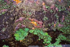 Tidepool at low tide showing with Giant green anemones {Anthopleura xanthogrammica} and Ochre sea stars {Pisaster ochraeceus} Olympic National Park, Washington, USA. - Georgette Douwma