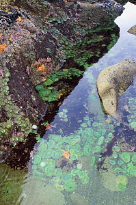 Tidepool at low tide with Giant green anemones {Anthopleura xanthogrammica} and Ochre sea stars {Pisaster ochraeceus} Olympic National Park, Washington, USA. - Georgette Douwma