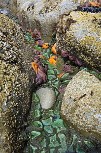 Giant green anemones {Anthopleura xanthogrammica} and Ochre sea stars {Pisaster ochraeceus} exposed on rocks at low tide, Olympic National Park, Washington, USA. - Georgette Douwma