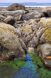 Rockpool at low tide with Giant green anemones {Anthopleura xanthogrammica} and Ochre sea stars {Pisaster ochraeceus} Olympic National Park, Washington, USA. - Georgette Douwma