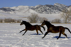 Two Bay thoroughbred geldings cantering through snow, Arvada, Colorado, USA.  -  Carol Walker