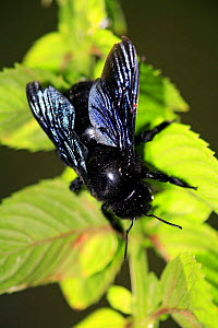 Carpenter bee {Xylocopa violacea} Spain. - Jose B. Ruiz