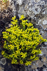 Wallpepper / Biting stonecrop in flower {Sedum acre} Spain  -  Philippe Clement