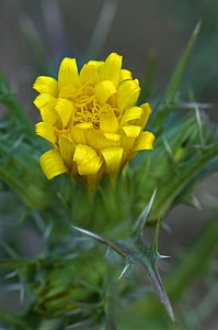 Golden thistle {Scolymus hispanicus} Spain  -  Philippe Clement