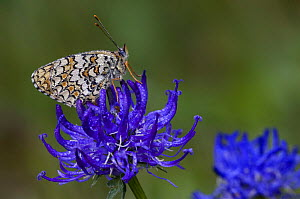 Knapweed fritillary {Melitaea phoebe} covered in dew on Round-headed rampion {Phyteuma orbiculare} Gran Paradiso NP, Alps, Italy  -  Philippe Clement