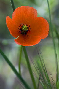 Long headed poppy {Papaver dubium} in flower, Spain - Philippe Clement